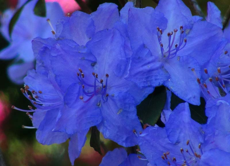 Rhododendron Augustinii With The Most Beautiful Blue Flowers