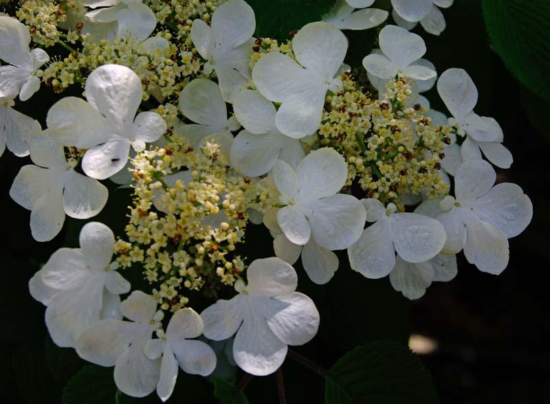 Tandella Garden,  Viburnum pilcatum 'Summer Snowflake' - Leura Gardens Festival