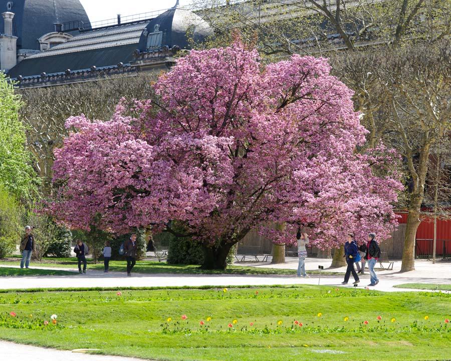 Jardin des Plantes, Paris. Cherry in full bloom