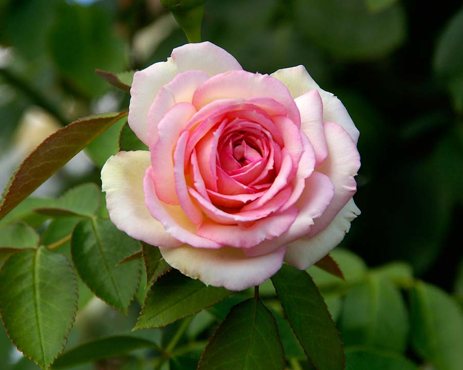 Climbing Rose - Pierre De Ronsard