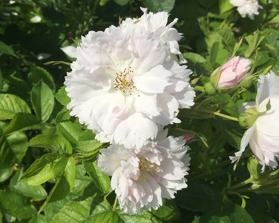 Rosa Portland - Madame Knorr (Comte de Chambord)