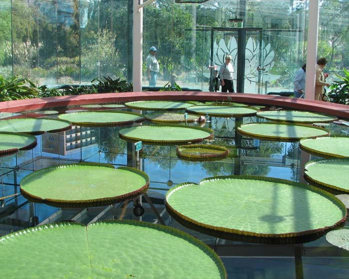 Stunning water lillies - the largest you'll like ever see  - photo supplied by Adelaide Botanic Garden