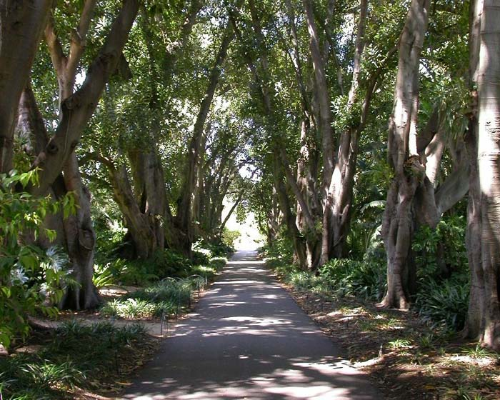 Murdoch Avenue - a shady place for a walk on a warm day - photo supplied by Adelaide Botanic Garden