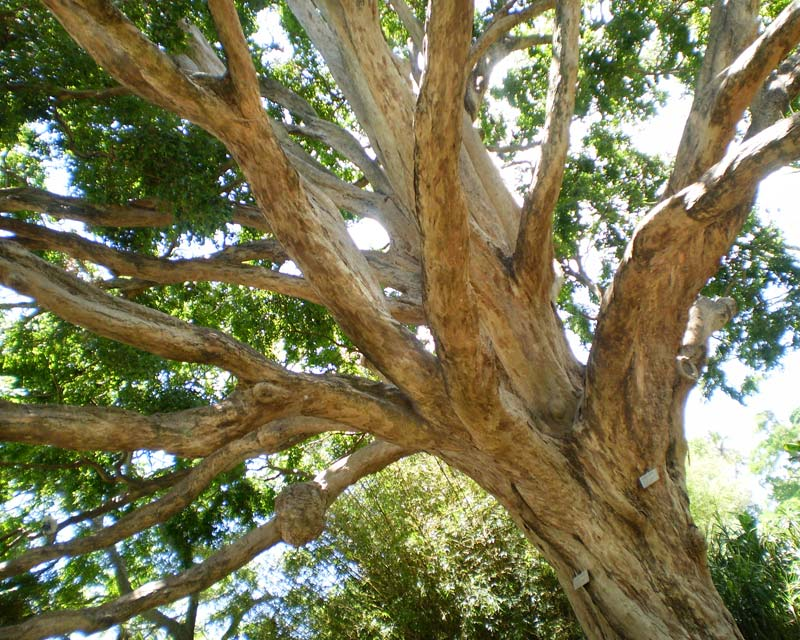 Many wonderful mature trees - N.B. this is an artfully shot angle, not real -  Royal Botanic Garden, Sydney