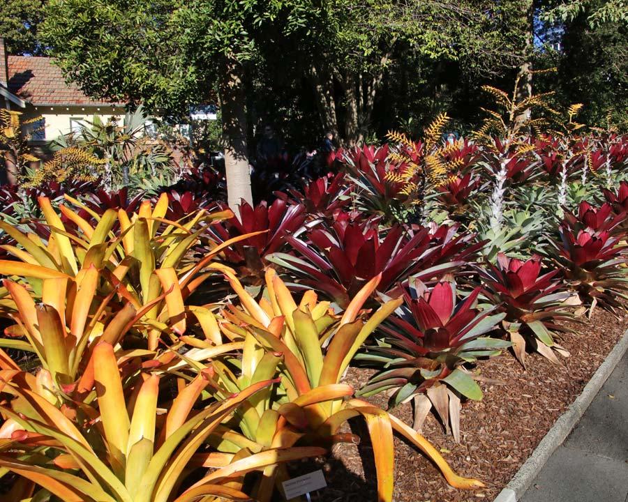 Sydney Botanic Gardens - Bromeliad Bed