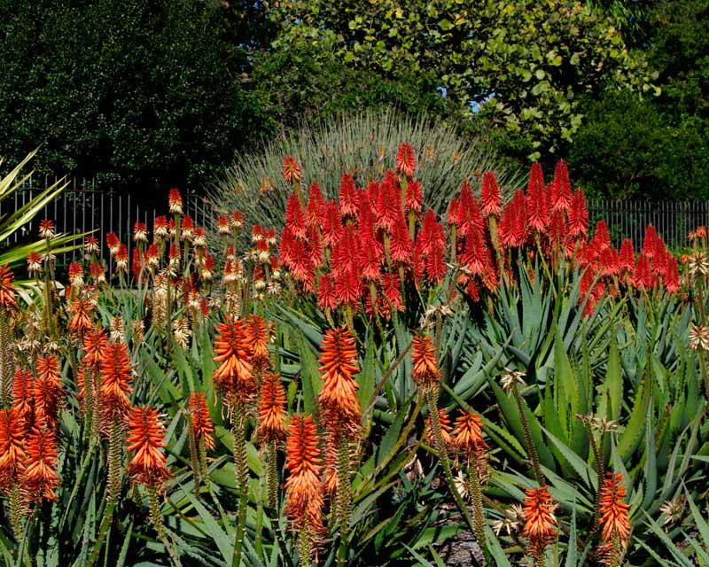 Aloes add colour outside the main gate of Royal Botanic Garden, Sydney in MacQuarie Street - July