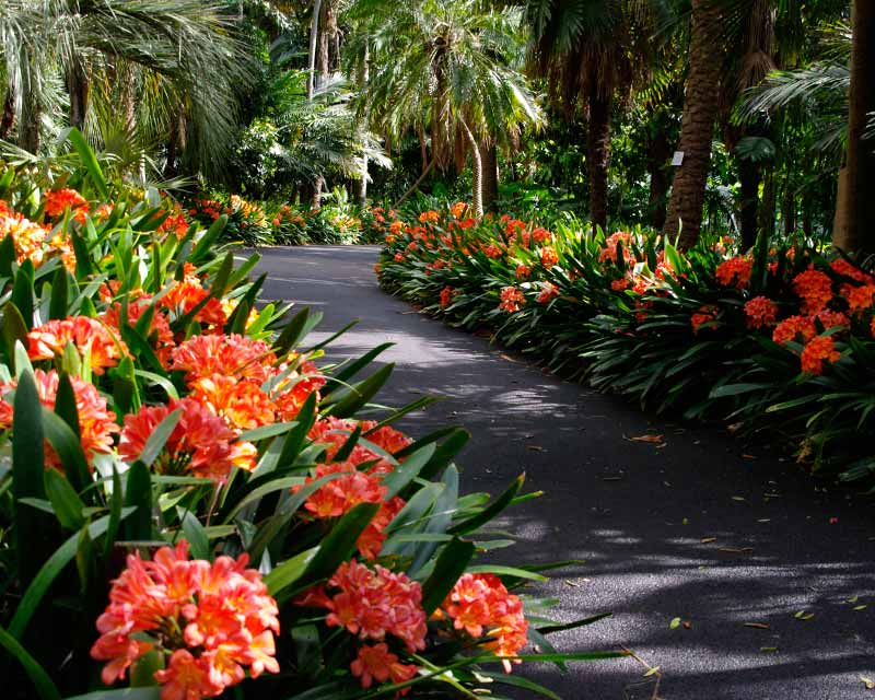 September is a wonderful time to enjoy Clivia borders - Royal Botanic Garden, Sydney
