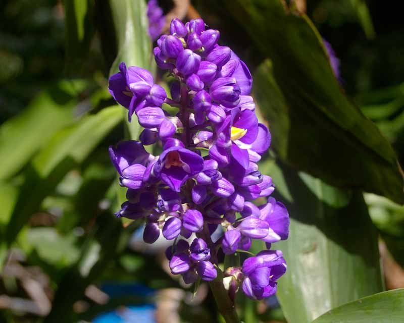 Dichorisandra thyrsiflora - Blue Ginger flowering in March - Royal Botanic Garden, Sydney