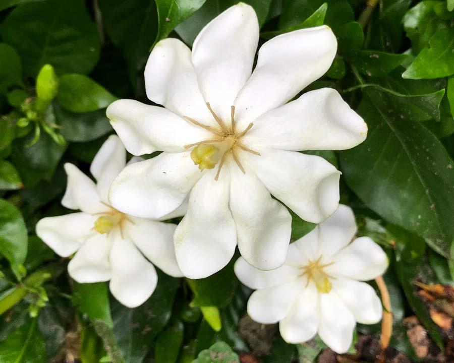Gardenia thunbergia - large shrub with wonderfully fragrant, white flowers