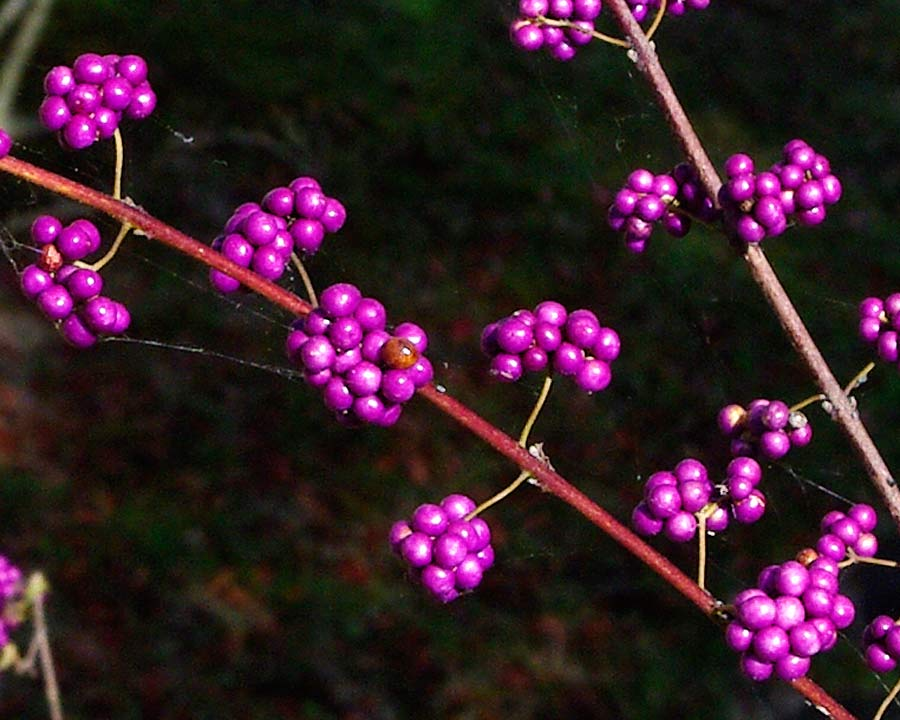 Hemiji Koko-en, Garden of Nine Rooms - Room 4 The Flatly Landscape Garden. Purple Berries of Callicarpa dichotoma