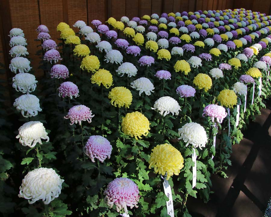 Shinjuku Gyoen, Tokyo, Chrysanthemum Exhibition
