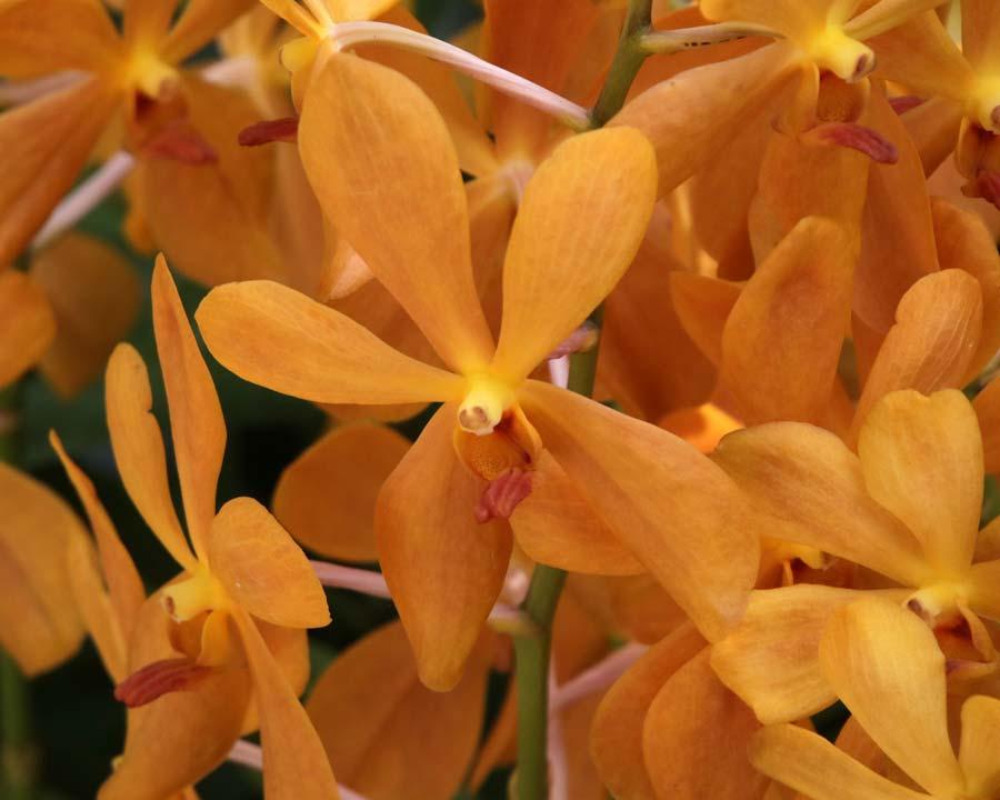 Orchid, Aranda 'Jitti Gold'