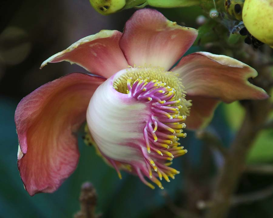 Couroupita guianensis, the Cannonball Tree, fragrant flowers but very smelly, Cannonball-like fruits.