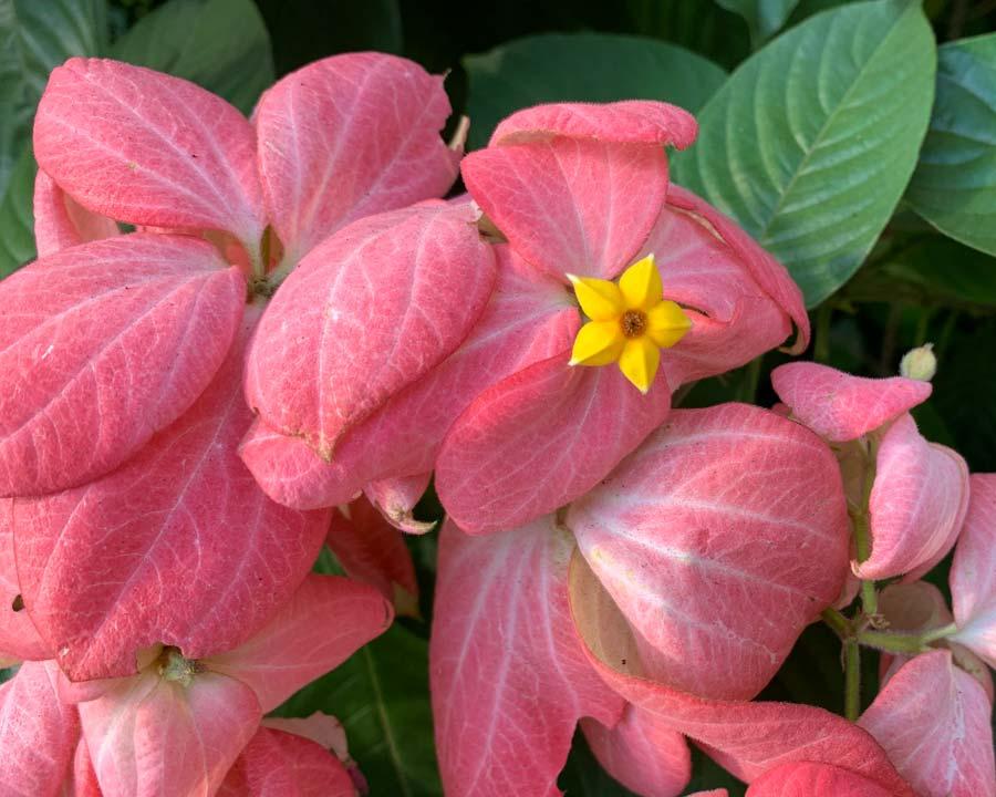 Mussaenda erythrophylla