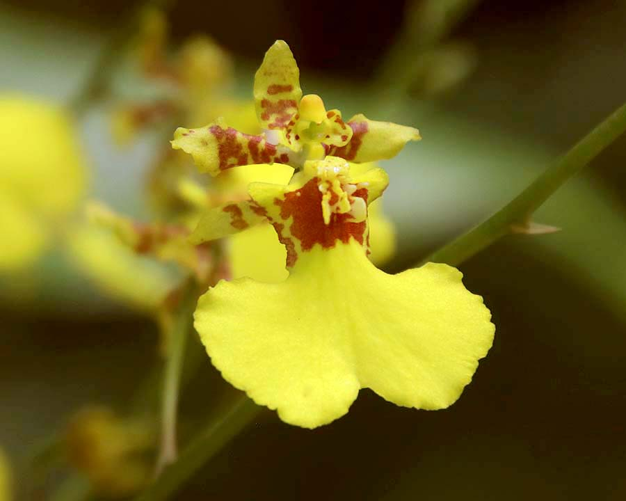 Oncidesa Goldiana 'Golden Shower'