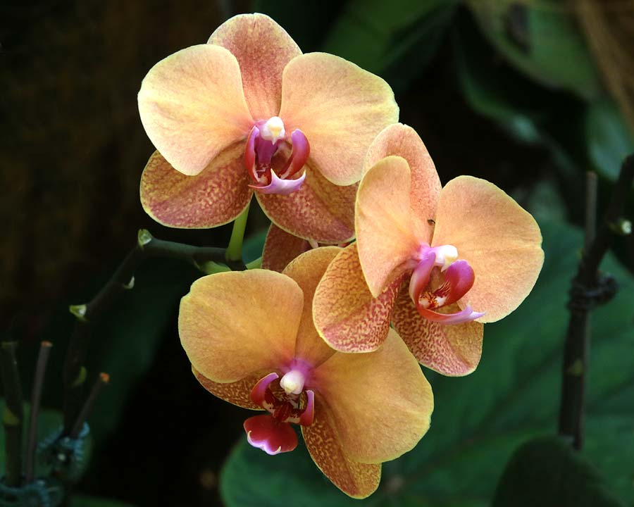 Orange Phalaenopsis Orchids, Singapore Botanic Gardens