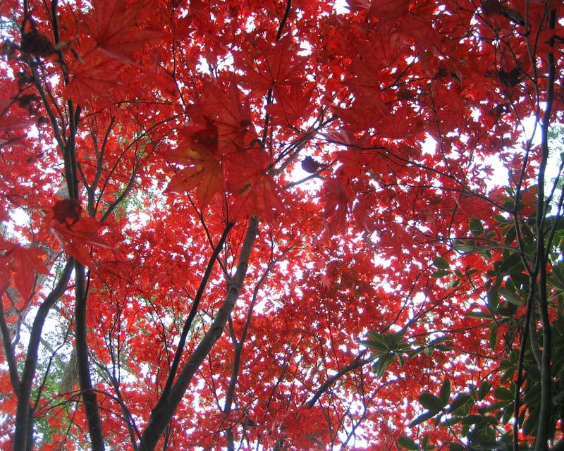 Autumn leaves - Blue Mountains Botanic Garden Mount Tomah