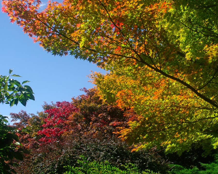 Early autumn at Mount Tomah - all leaves have started to turn, by the Anzac Day the colours will be at their best