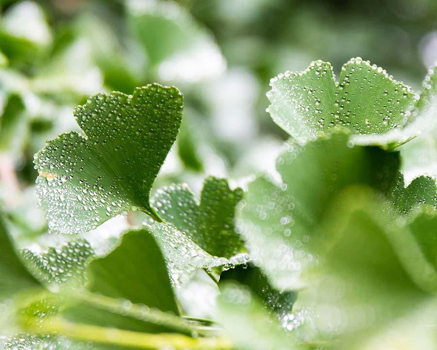 Mount Tomah Botanic Gardens - Ginkgo biloba leaves