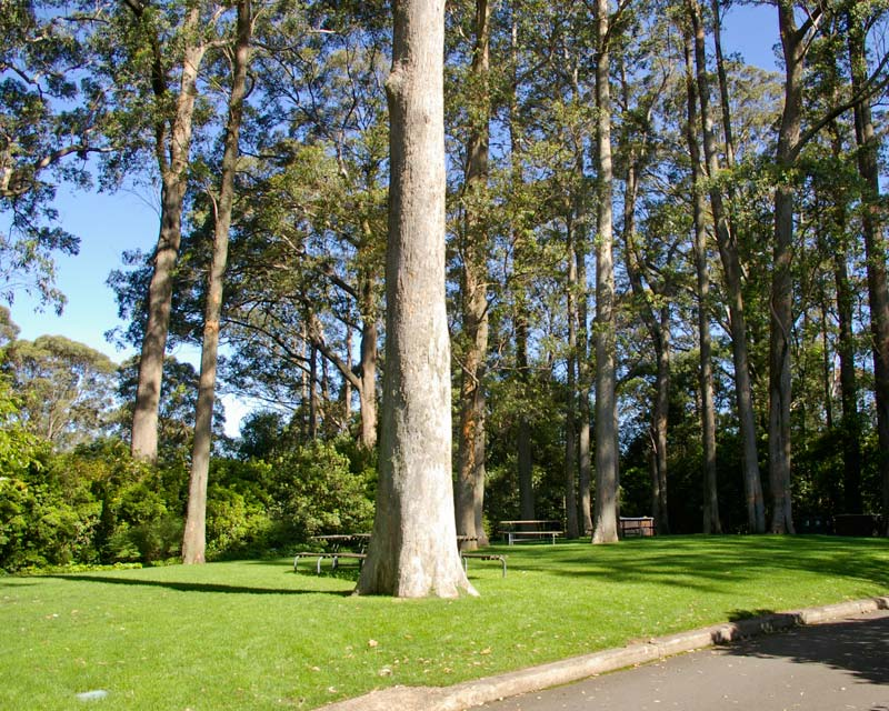 Enjoy a picnic under tall Eucalyptus - Blue Mountains Botanic Garden Mount Tomah