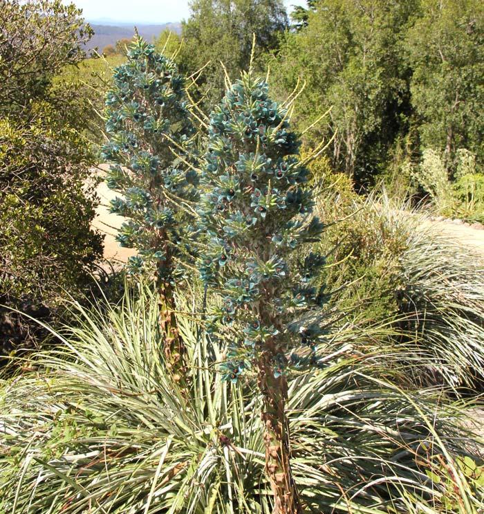 Puya berteroniana - Blue Mountains Botanic Garden Mount Tomah