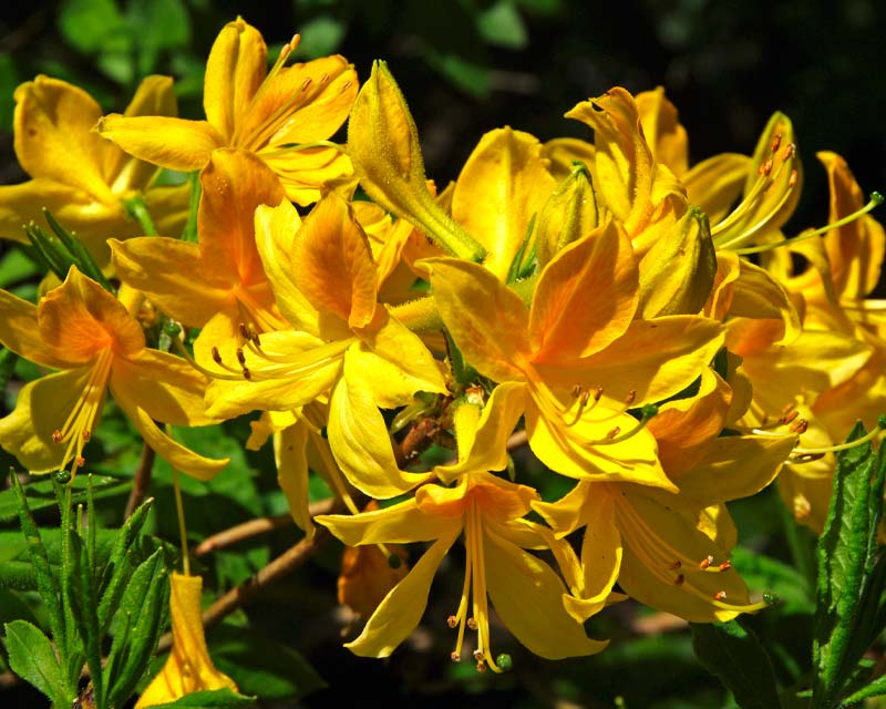 Rhododendron mollis renge Tsutsuji - Blue Mountains Botanic Garden Mount Tomah