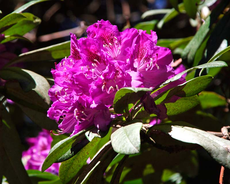 Rhododendron vernicosum - Blue Mountains Botanic Garden Mount Tomah