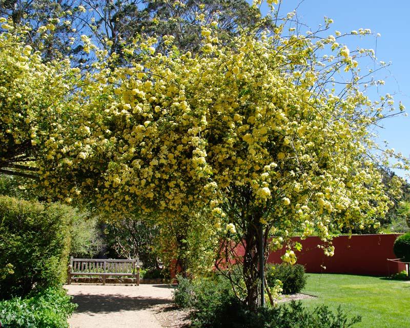 Rosa banksiae Arch - Blue Mountains Botanic Garden Mount Tomah