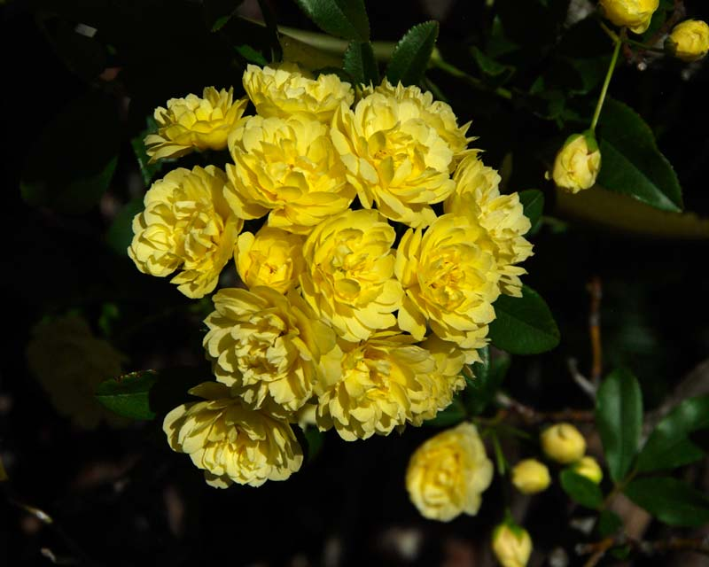 the delicate yellow flowers of Rosa banksiae - Blue Mountains Botanic Garden Mount Tomah