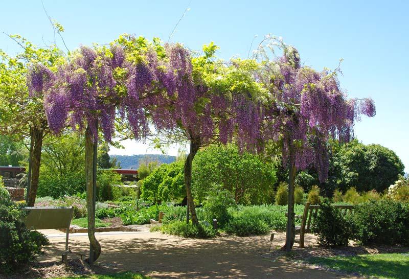 Wisteria Arch - Blue Mountains Botanic Garden Mount Tomah