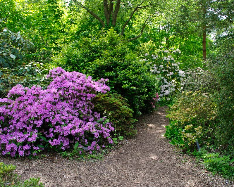 In late May many of the  Rhododendron are still in flower along the paths of Battleston East Wisley