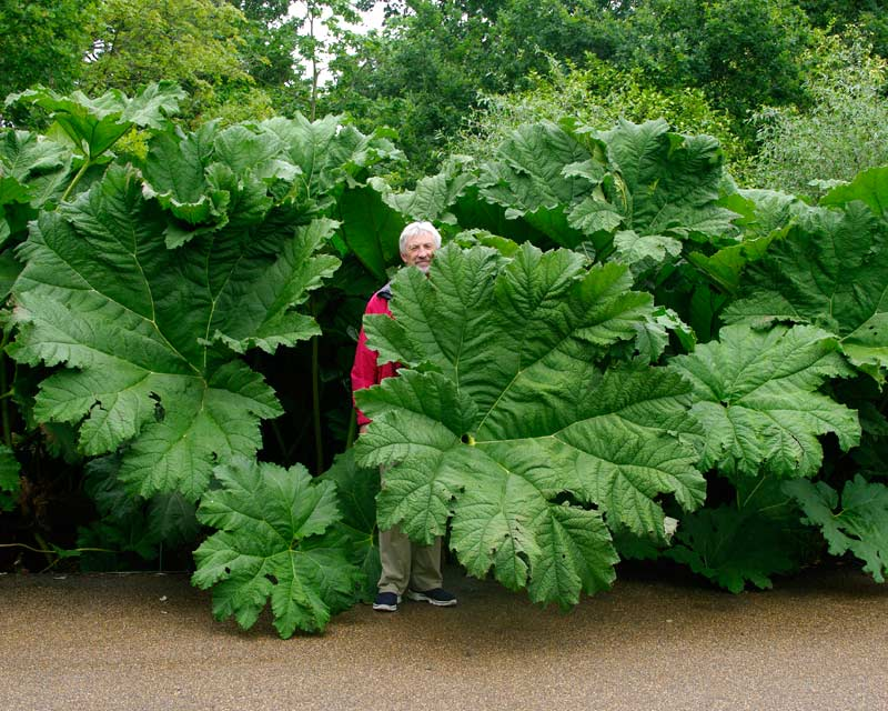 A GardensOnline reviewer trying to remain inconspicuous in amongst the giant Gunnera manicata.