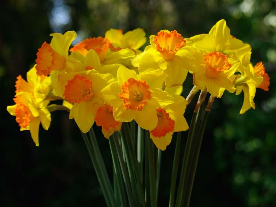 Spring daffodils - Wisley RHS