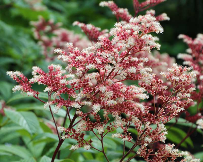 Rodgersia pinnata adds delicacy to borders at Wisley