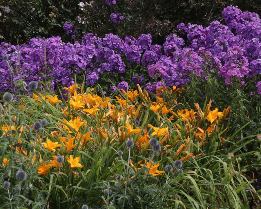 Ruch border colours, Wisley