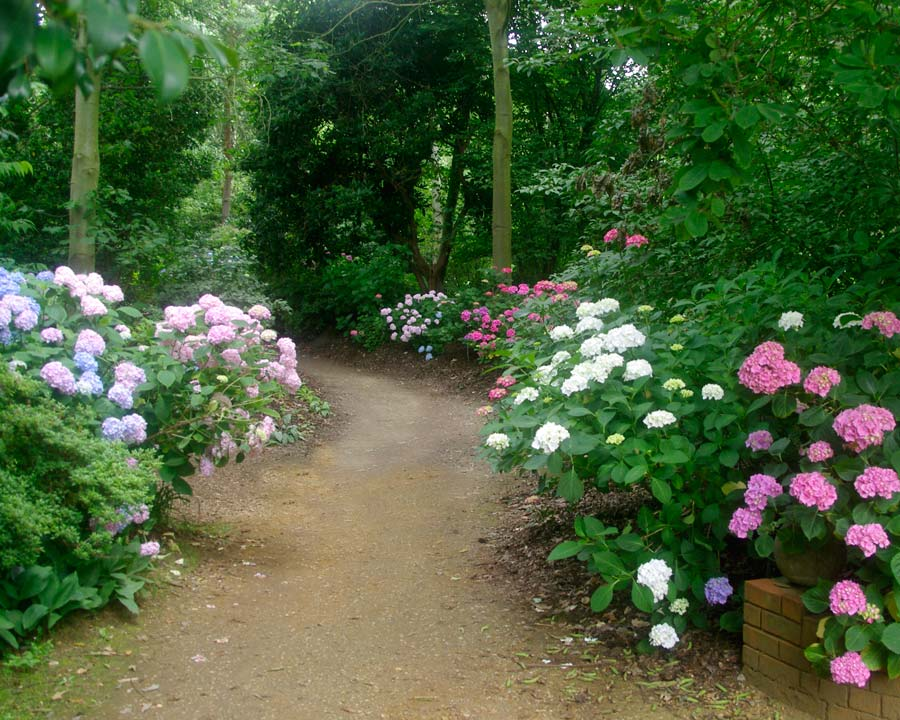 Hydrangeas in full flower in July - Battleston Hill East, Wisley Gardens UK