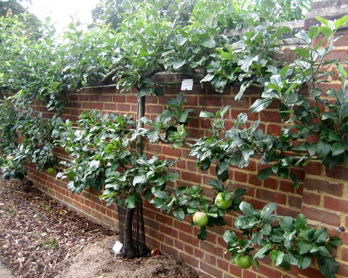 Espaliered apples - Wisley RHS