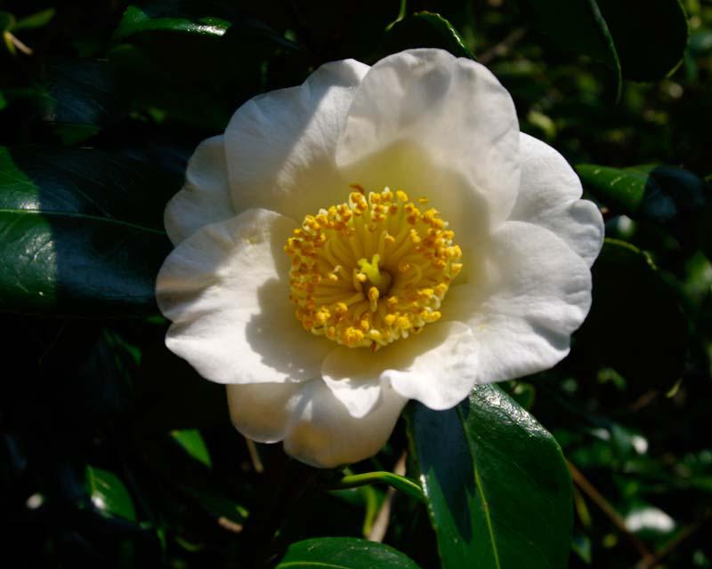 Camellia japonica 'Francis Manger