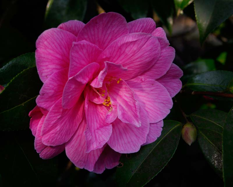 Beautiful pink camellia flower - unknown variety -  photo taken in Lost Gardens of Heligan
