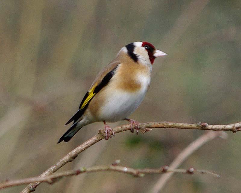 Goldfinch - from Horsemoor Hide, Lost Gardens of Heligan