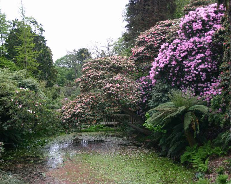 Ancient rhododendron in the Northern Gardens, Lost Gardens of Heligan  - photographer Peter Barber