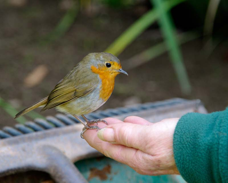 The wildlife of the garden are not worried by the visitors. Here a robin rests on a gardener's hand. - Lost Gardens of Heligan