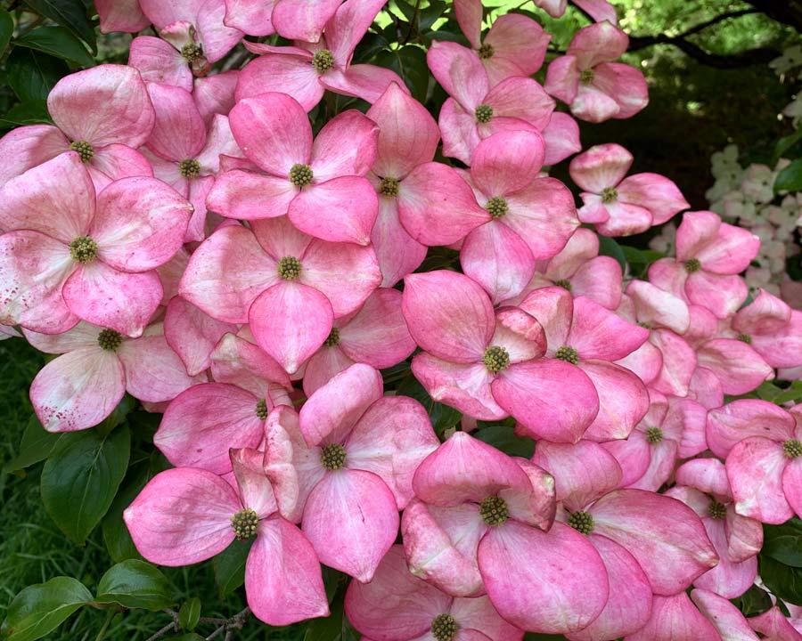 Bodnant Gardens, Conwy, North Wales - Cornus kousa 'Pink Form'