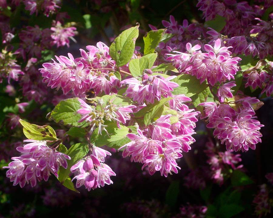 Bodnant Gardens, Conwy, North Wales - Deutzia 'Strawberry Fields'