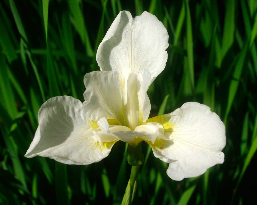 Bodnant Gardens, Conwy, North Wales - Iris sibirica 'White Swirl'