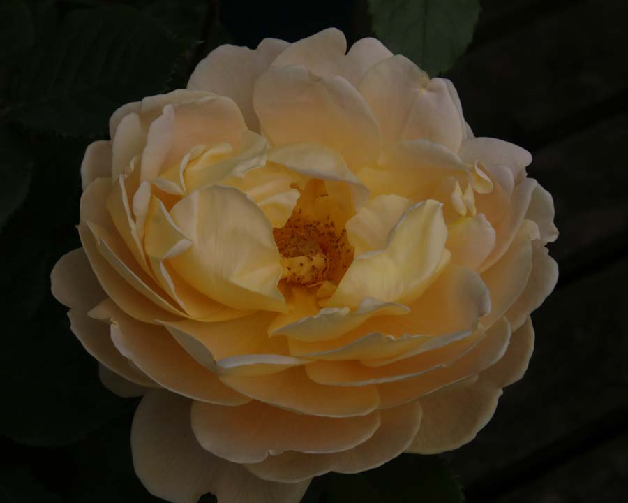 Rosa David Austin Golden Celebrations, Bodnant.