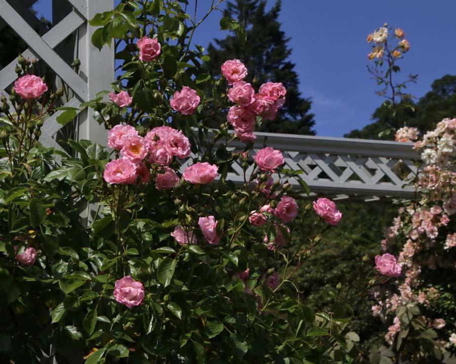 Rose garden, Bodnant