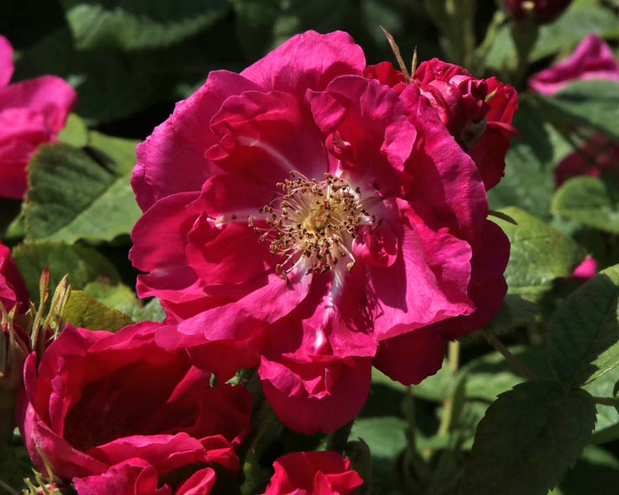 The Portland Rose at Bodnant Gardens
