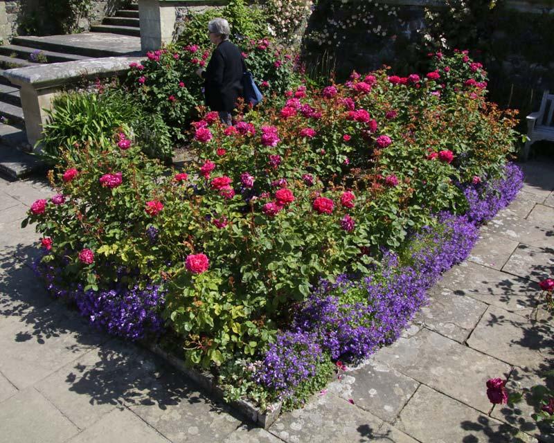 Rose Bed, Sophy's Rose, Bodnant