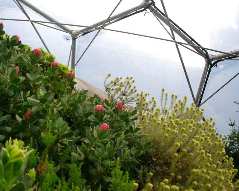Proteas in the Mediterranean Biome - Eden Project